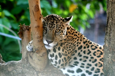 Jeune jaguar: Le prince de la jungle